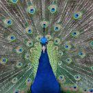 Peacock  aka