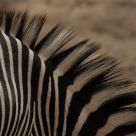 Grant's Zebra
