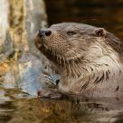 European Otter