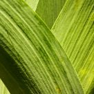 Iris Leaves