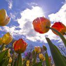 Sherwood Gardens Tulips