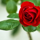 Rosa roja en su rosal