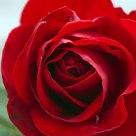 Nominativo, rosa