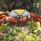 a galapagos crab