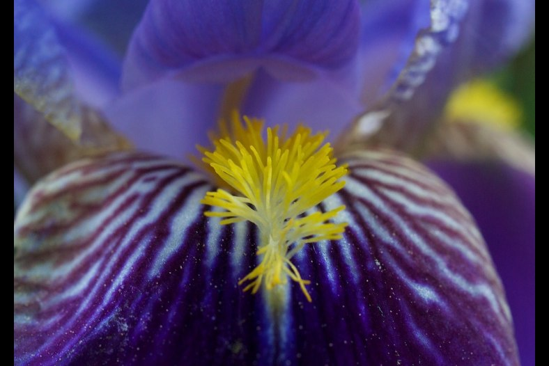 The Tongue Of The Iris