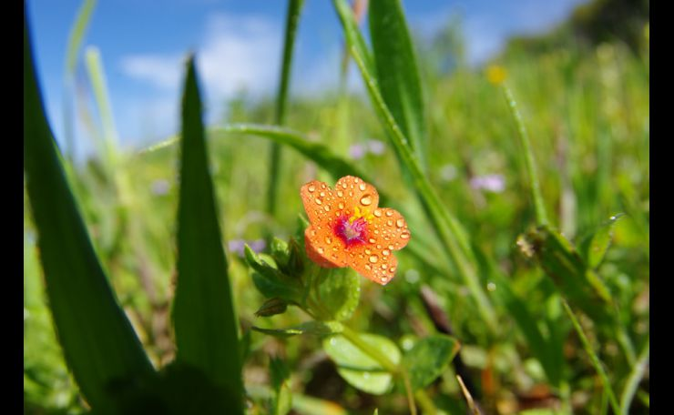 Morriao vermelho Anagallis arvenses,L.