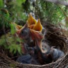 Little blackbirds in nest