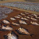 DRYING FISH, SRI LANKA