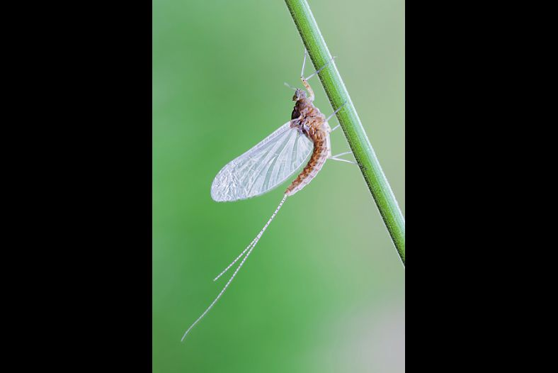 Ephemeroptera