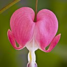 A Bleeding Heart...