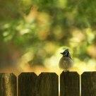 Puffy Blue Jay