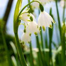 Snowdrops II
