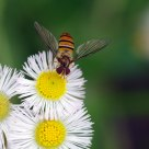 fruit fly rest on a daisy