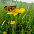 Borboleta (Butterfly) Melitaea deion