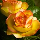 Rose in Warm Tones