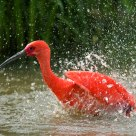 Scarlet ibis splash