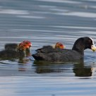 Coot & Chicks