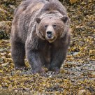 Large Male Grizzly Bear