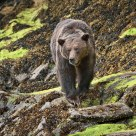 Adult Grizzly Bear Foraging below the Tideline.