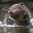 Adult Grizzly Bear Shaking Water