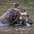 Grizzly Bear preparing to eat a Salmon.