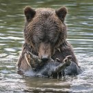 Adult Grizzly Bear with Male Pink Salmon