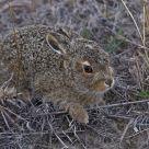 Wild Baby Jack Rabbit