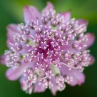 Astrantia