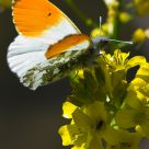 Orange Tip feeding