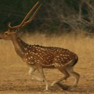 Axis Buck Taking Off