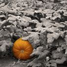 A Pumpkin in the Patch
