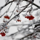 Mountain ash in ice
