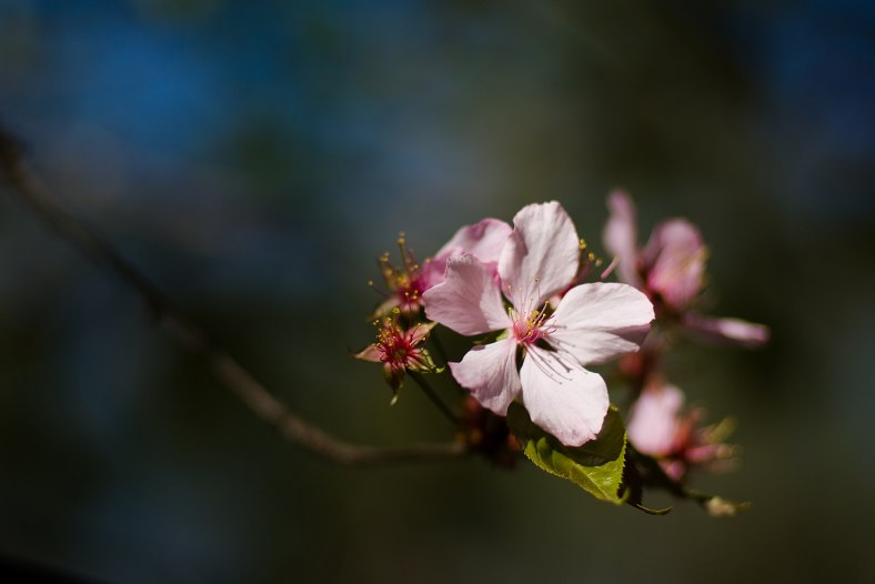 Oriental cherry flower