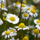Daisies Pushing Up