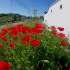 Papoilas (poppies)