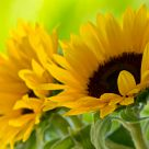 Sun, summer, sunflower...
