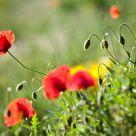 Poppy May #11