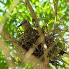 White Wing Dove On Nest