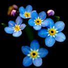 The Tiny Forget-me-not Blossums