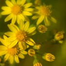 Ragwort