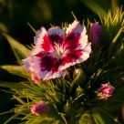 Sweet William Sunset