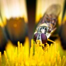 Hoverfly eats pollen