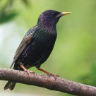 Starling Portrait