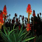 Aloes in abundance