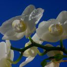 flower (Orchid)