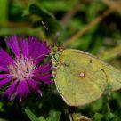 Borboleta (butterfly) Colias croceus