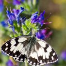 Melanargia galathea