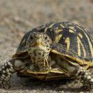 Wild Box Turtle