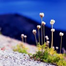 Pasque Flower, Crater Lake National Park.