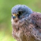 Kestrel